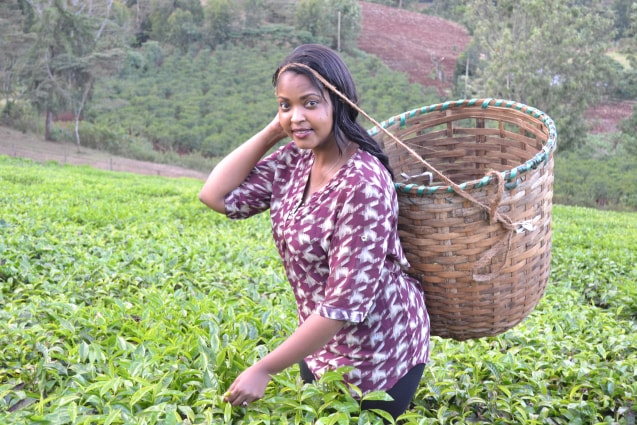 Picking tea in a tea farm in Nyeri, Kenya