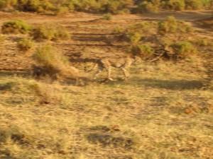 A cheetah seeming on the prowl in Samburu National Reserve, Kenya