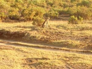 A cheeter at Samburu National Reserve
