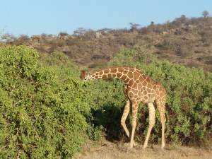 A giraffe enjoying its meal at Samburu National Reserve, Kenya