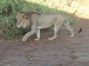 The king of the Jungle, at Samburu National Park, Kenya