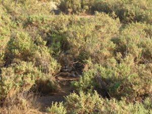 Lion hiding in the bush-Samburu National Park, Kenya