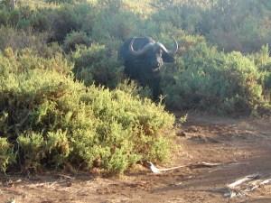 Bufallo at Samburu National Reserve, Kenya