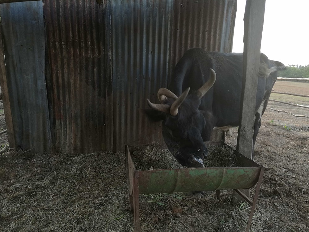 This one had four horns and a distorted face in Kitale National Conservancy, Kitale, Kenya